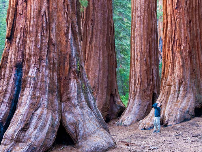 redwood-sequoia-forest-california-cr-alamy